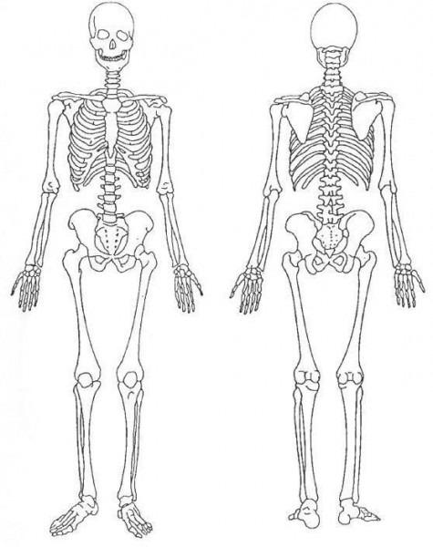 Estructura Del Sistema óseo  ¿cómo Está Conformado