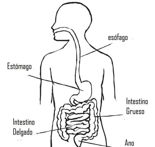 Resultado De Imagen Para Sistema Digestivo Para Colorear