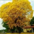 Araguaney Arbol Nacional Para Colorear