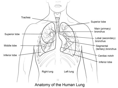 Dibujo De Pulmones Humanos Para Colorear