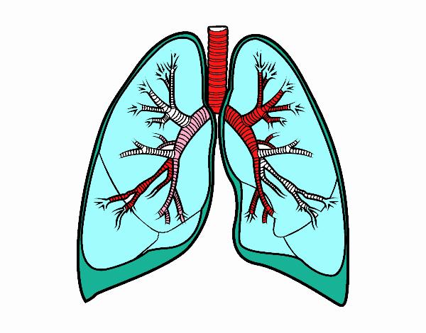 Dibujo De Pulmones Y Bronquios Pintado Por En Dibujos Net El Día