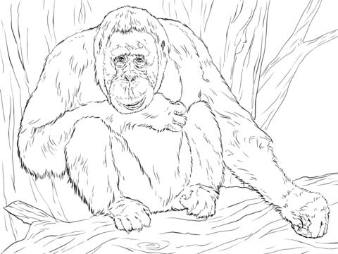 Dibujo De Orangután De Borneo Realista Para Colorear