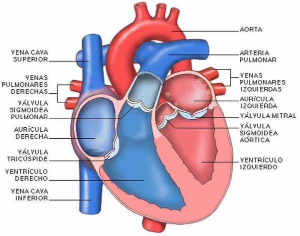 Las Partes Del Corazón Humano