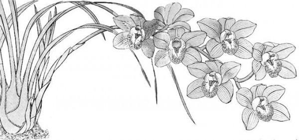 Cymbidium, Orquídea  Técnicas De Cultivo Y Principales Especies
