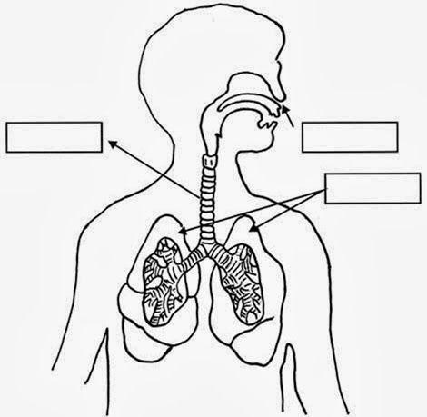 ImÁgenes Fichas Órganos Del Aparato Respiratorio La Respiración