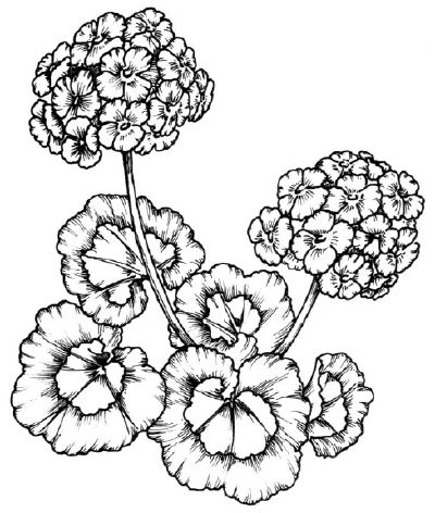 How To Draw A Geranium In 5 Steps