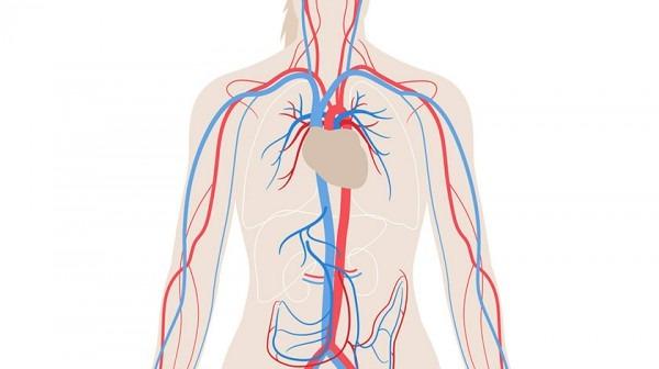 Venas Y Arterias (primaria) Juego Del Aparato Circulatorio  ¿dónde
