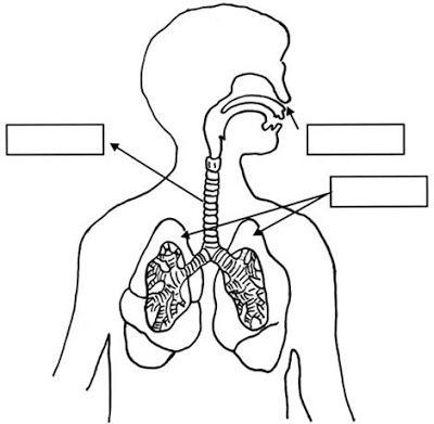 Cuentosdedoncoco Com  Dibujo Del Sistema Respiratorio Para