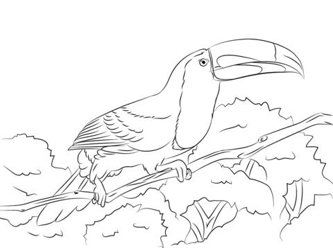 Dibujo De Tucán Pico Iris Posado Sobre Una Rama Para Colorear
