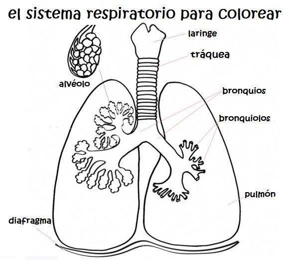 Sistema Respiratorio Para Colorear Para Niños
