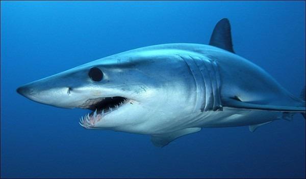 Fotos Tiburones Asesinos » Tiburonpedia