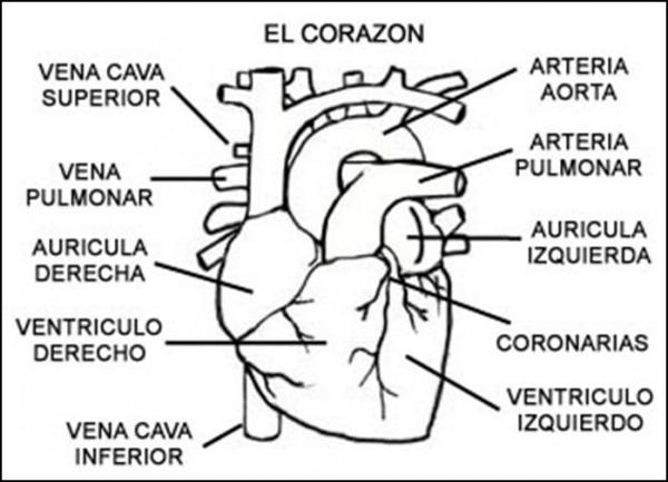 Cuentos De Don Coco  Sistema Circulatorio Resumen
