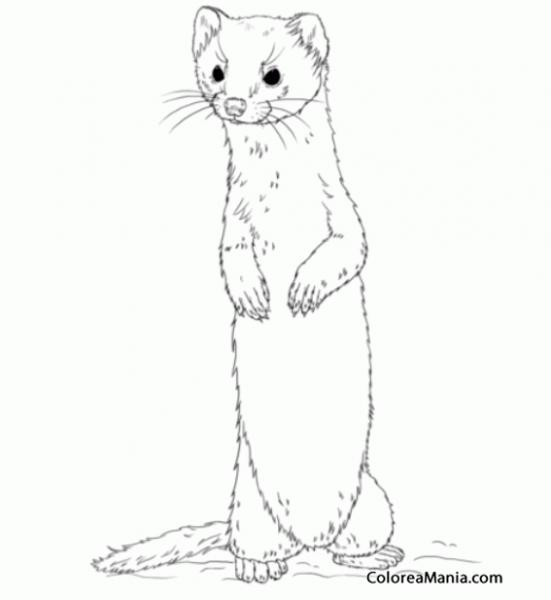 Colorear Comadreja De Pie (animales Del Bosque), Dibujo Para