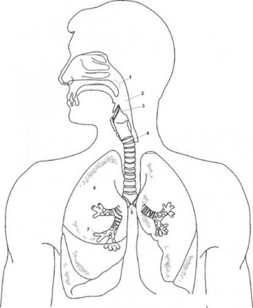 Dibujo De Aparato Respiratorio Para Pintar Y Clorear Sistema