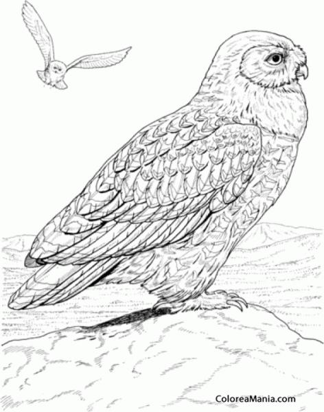 Colorear Búho, Dibujo Realista (aves), Dibujo Para Colorear Gratis