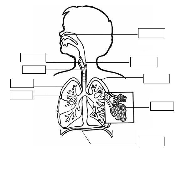 Sistema Respiratorio Para Colorear , Alguien Sabe