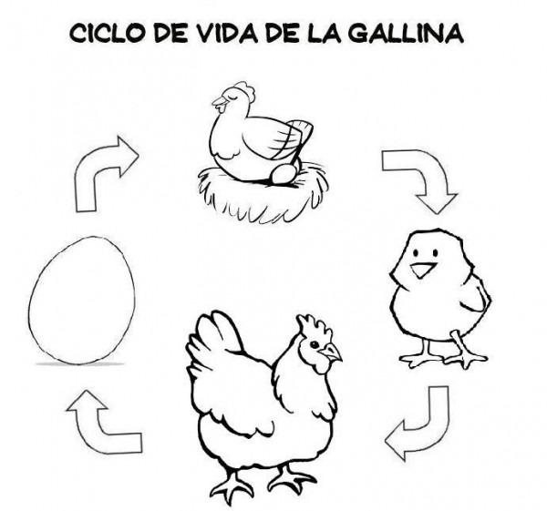 Ciclo Vital De La Gallina Para Colorear