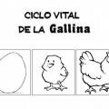 Ciclo De La Gallina Para Colorear