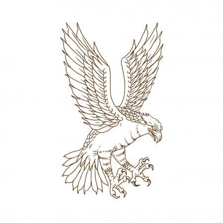 Vectores De Stock De Aguila Calva, Ilustraciones De Aguila Calva