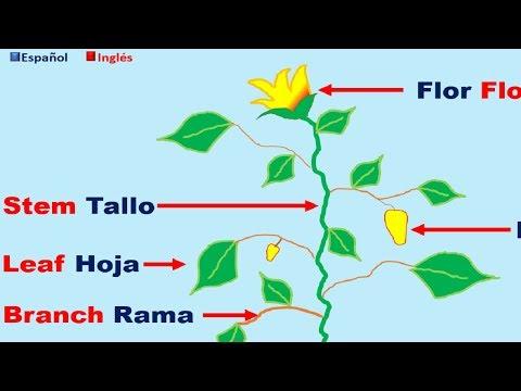 Partes De La Planta En Ingles Y Español