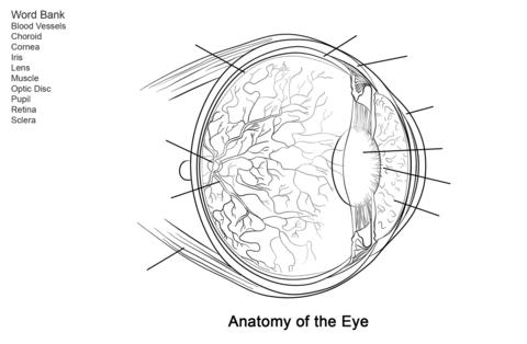 Dibujo De Ejercicio  Anatomía Del Ojo Humano Para Colorear