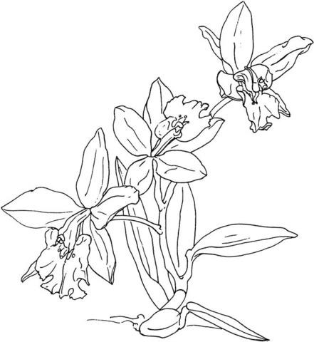 Dibujo De Orquídea Para Colorear