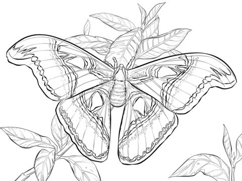 Dibujo De Mariposa Atlas Realista Para Colorear