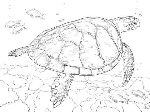 Dibujo De Tortuga Carey Realista Para Colorear
